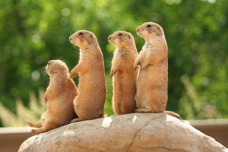 Fractie van prairiehonden staande op de top van de rock