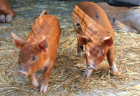 piglets: Two piglets Stock Photo