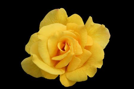 midas: Single yellow rose bloom isolated, named Midas Touch Stock Photo