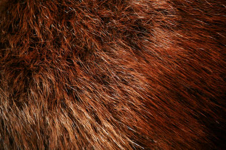 Authentic beaver fur, beautiful rich brown color with various shading