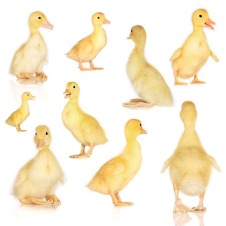 duck: Collage of ducklings isolated on white