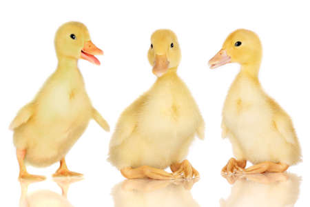 quack: Three ducklings isolated on white Stock Photo