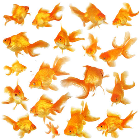 fantail: Collage of beautiful fantail goldfish