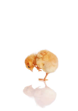 Little chick bending down looking at its reflection Stock Photo