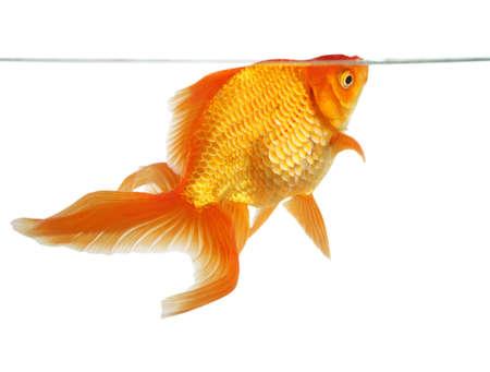 fantail: Beautiful fantail goldfish isolated in studio shot Stock Photo