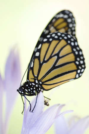 Beautiful monarch butterfly resting on purple flowers of a hostas plant. Shallow DOF photo