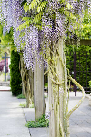 Fabaceae: Beautiful, elegant purple wisteria flowers cascading off trellised vines  Fabaceae family Stock Photo