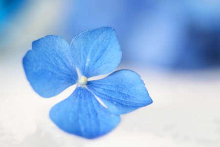 Shallow focus of single hydrangea flower blossom with blue blurred background Zdjęcie Seryjne