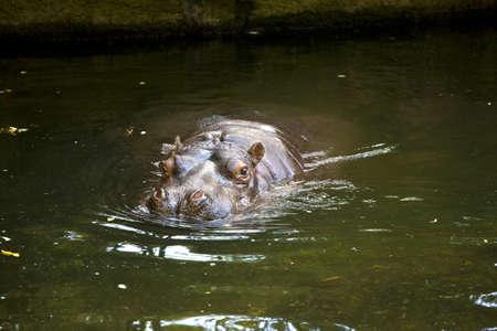 sumergido: Hipona, en su mayor�a sumergido, el agua nadando en el agua verde