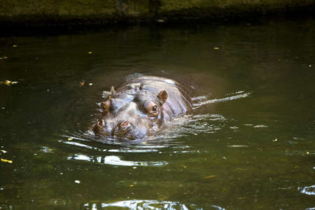 nostrils: Hippo, mostly submerged, water swimming in green water