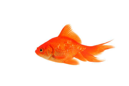 fantail: One fantail goldfish