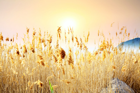 Field of tall yellow grasses set against a yellow orange sunset. Banco de Imagens