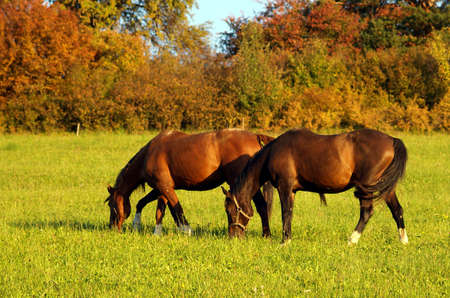 Horses taking rest on green meadow. photo