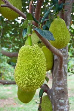 Thai fruits,jackfruit photo