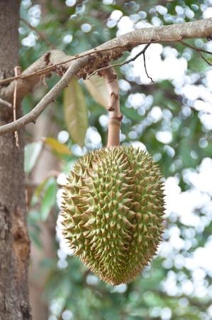 Thai fruits,durian photo