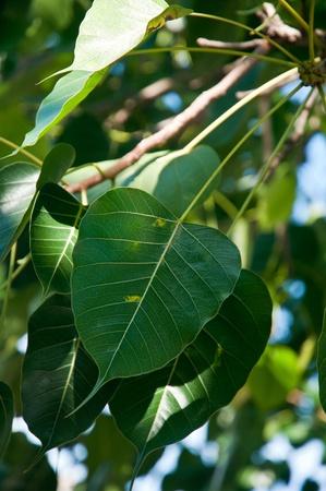 leaf, plant, tree, wood
