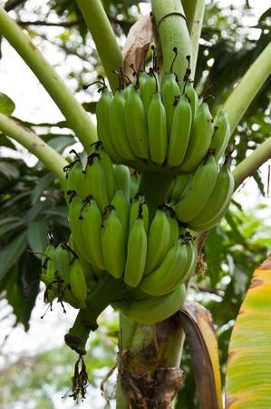 green banana on tree photo