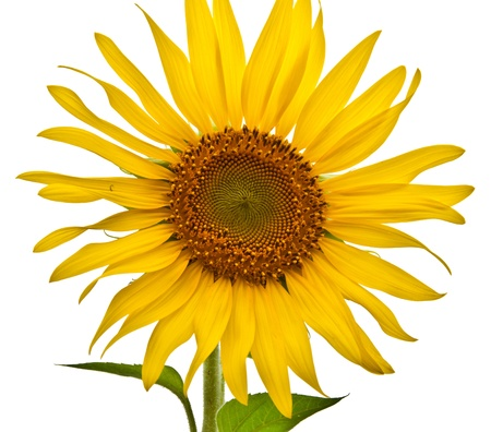 sunflower in the park