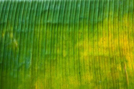 banana leaf Stockfoto