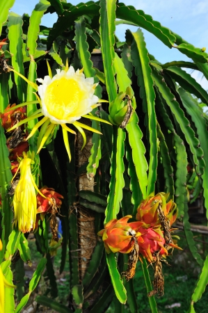 Dragon fruit, Dragon fruit flower photo