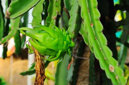 Dragon fruit, Dragon fruit flower