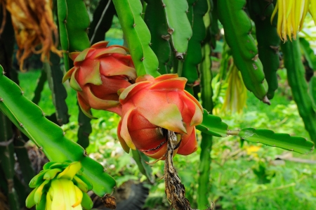 Dragon fruit, Dragon fruit flower