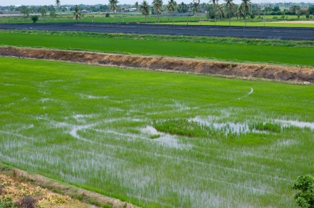 Rice farm, Green photo