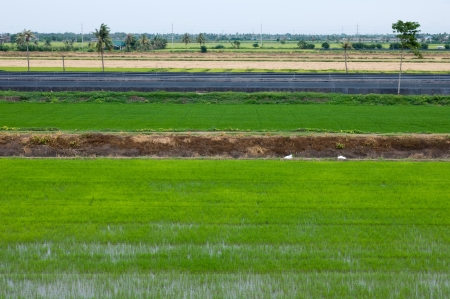 Rice farm, Green
