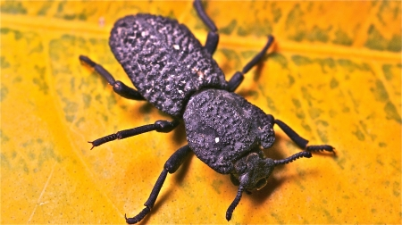Rugged Darkling Ground Beetle Stock Photo