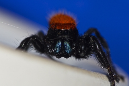Red Jumping Spider Stock Photo