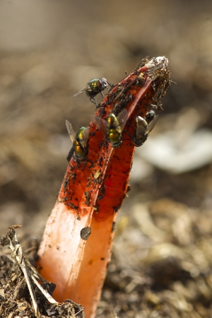 Stinkhorn with Flies Stock Photo
