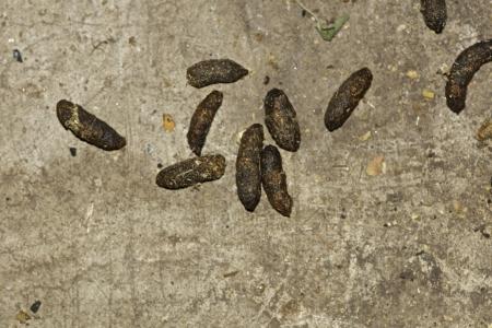 ratones: Rata excrementos