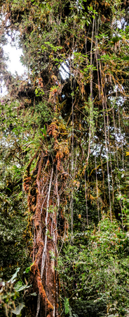 wide  wet: Panoramic view of a tall tree with lianas hanging from the branches