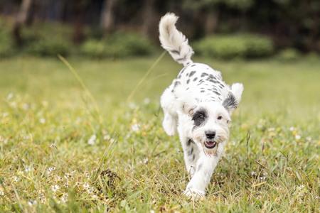 dalmatian: Black and White Schnauzer  Dalmatian dog running