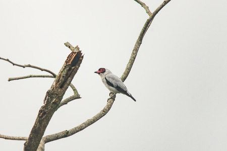 red beak: White bird with black feathers under the wings and red beak Stock Photo