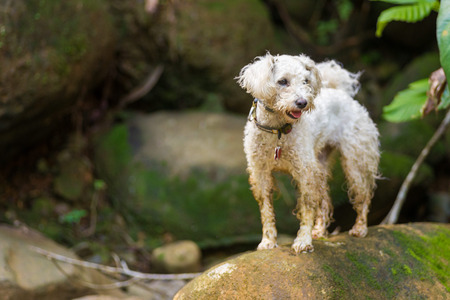 white poodle: White Poodle dog standing on rocks Stock Photo