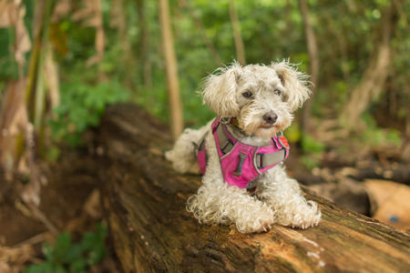 white poodle: White Poodle dog resting on a tree trunk