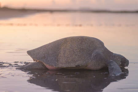 Sea turtle nesting during sunrise at Ostional beach in Costa Rica