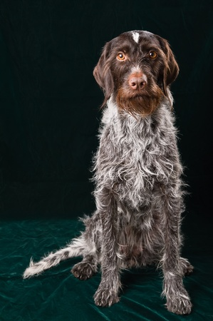 German wirehaired pointer sitting and stearign.