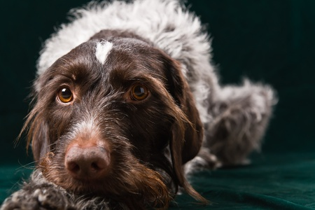 German wirehaired pointer lain and stearign. photo