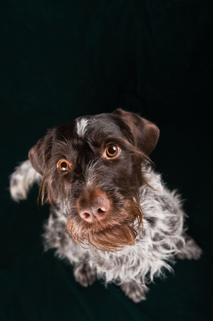 German wirehaired pointer sitting and stearign. photo