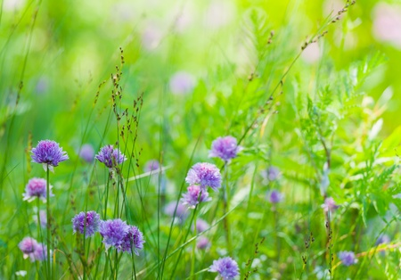 purple flowers: Chines in meadow, sunny day.
