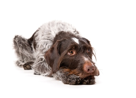 Lying German wire-haired pointer with white background