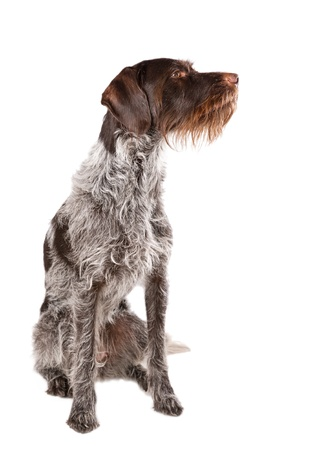 Sitting German wire-haired pointer with white background