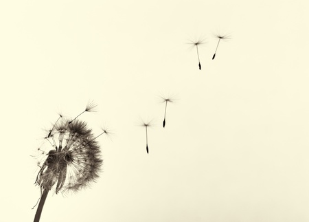 Dandelion and seeds, colored black and white photo  版權商用圖片