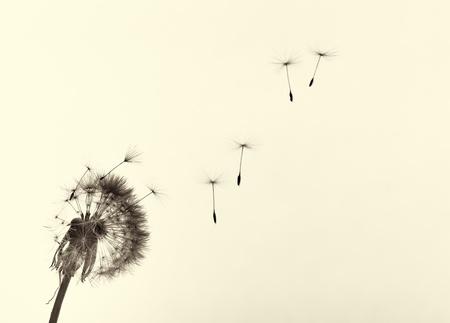 blow: Dandelion e semi, colorato foto in bianco e nero