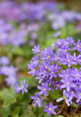hepatica: Common hepatica bunch flowering in springtime