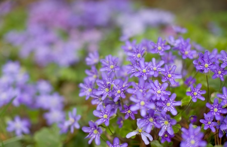anemone flower: Common hepatica bunch flowering in springtime