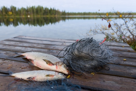 Two whitefishes on the dock, side by side with a fishnet and lake on background. Stock Photo