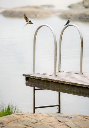 Two Hirundo rustica swallows and the swim ladder. photo